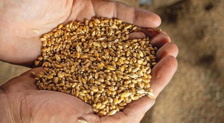 Tærsket korn holdes i to hænder.